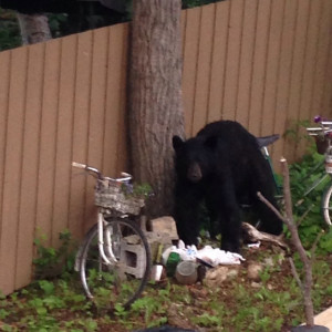 A bear invaded the Wallington's backyard July 10, made a mess and was then scared away. Regional environmental co-ordinator Albert Bourque says the bear was drawn into town by fish left to rot on the ground at Porritt Landing.