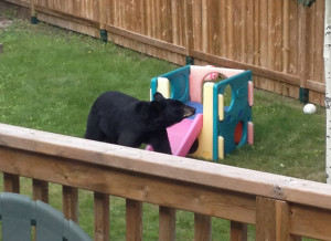 Bear in yard 553 area of Hay River Aug. 19, 2015 Hay River Photo courtesy of Andre Chabot