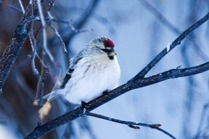 Hoary redpoll was one of 17 species observed in Hay River during the annual Christmas Bird Count on Jan. 2.