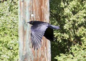 Paul Bickford/NNSL photo At this time of year, ravens are not so often seen in Hay River.