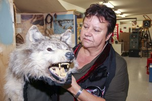 Paul Bickford/NNSL photo Joanne Barnaby looks over a wolf fur at the Hay River Heritage Centre on Sept. 15 after speaking about her adventure with a wolf in June.